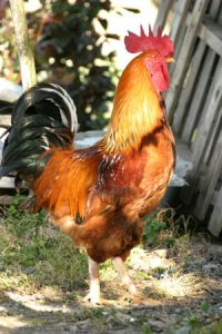 rooster-chanticleer-w300R
